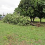 Fallen fruit tree on campus